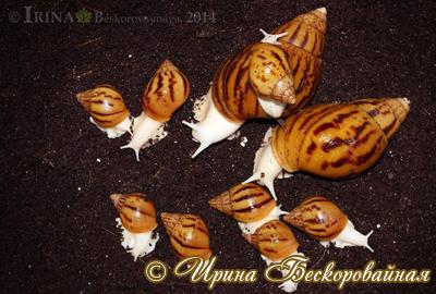 Achatina achatina. Фото 12