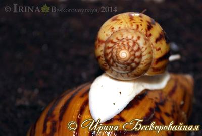 Achatina achatina. Фото 13