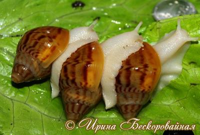 Achatina achatina. Фото 16