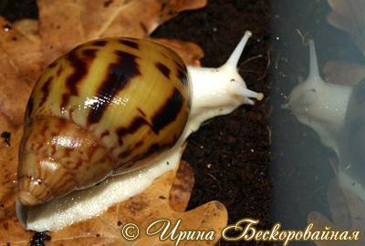 Achatina achatina. Фото 19