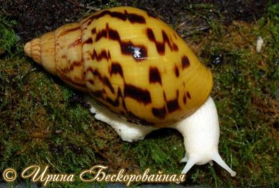 Achatina achatina. Фото 21