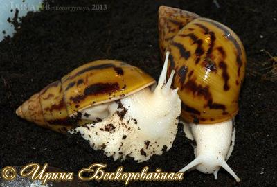 Achatina achatina. Фото 22
