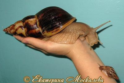 Achatina albopicta. Фото 10