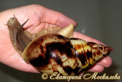 Achatina albopicta. Фото 14