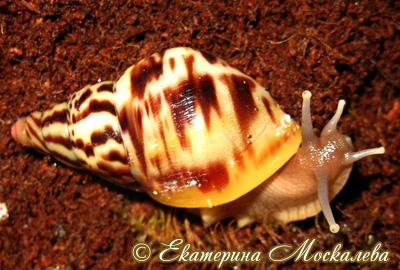 Ахатина альбопикта - Achatina albopicta E.A.Smith, 1878