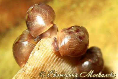 Achatina immaculata