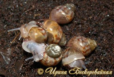 Achatina immaculata. Фото 19