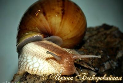Achatina immaculata. Фото 22