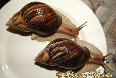 Ахатина незапятнанная - Achatina immaculata