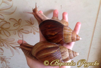 Ахатіна іммакулята - Achatina immaculata