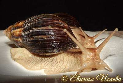 Ахатіна незаплямована - Achatina immaculata (Lamarck, 1822)