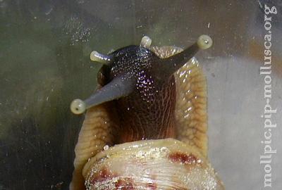 Ахатіна сітчаста - Achatina reticulata