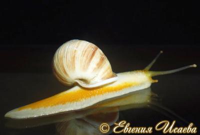 Amphidromus. sp. Фото 8