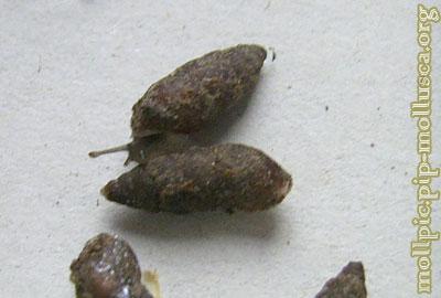 улитка башневидная малая - M. obscura