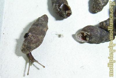 равлик баштоподібний малий
