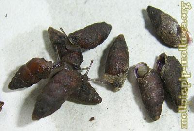 равлик баштоподібний малий - Merdigera obscura (O.F.Müller, 1774)