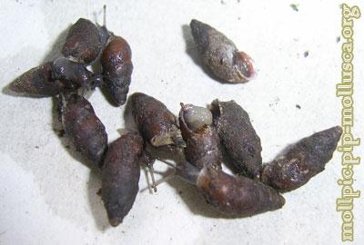 равлик баштоподібний малий - Merdigera obscura
