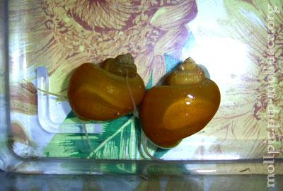 ампулярия - P. diffusa